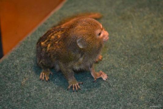 Самую маленькую обезьянку в мире продают в Казани за 70 тысяч рублей