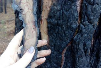 Казанцев напугали сосны с черными стволами на Лебяжьем