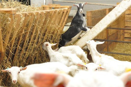 Легендарный козел Тимур ждет невесту из Татарстана