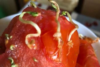 «Это чем же нас кормят?»: помидор, купленный в казанском супермаркете, превратился в монстра