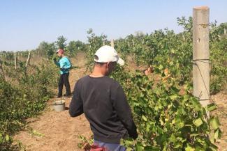 «Они не рабы»: студенты из Татарстана сбежали с виноградников в Крыму