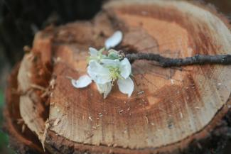 «У них нет ни памяти, ни души, только бизнес»: в Ключищах под Казанью вырубили знаменитый яблоневый сад
