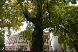 Где эта улица, где этот клен?.. Общественности Казани до сих пор не предъявили обещанную карту деревьев-патриархов