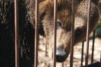 «Невозможно смотреть на это издевательство!»: казанцы жалеют медведицу Варю из «Дубая»