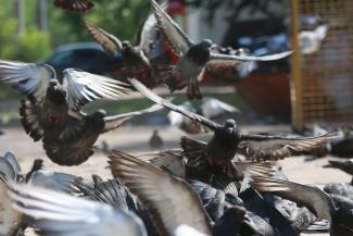 «Может, хватит кормить летающих крыс?»: казанцы разделились на тех, кто любит голубей, и тех, кто их ненавидит