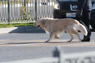 Полумеры не пройдут: заставить казанцев регистрировать своих собак могут только штрафы?