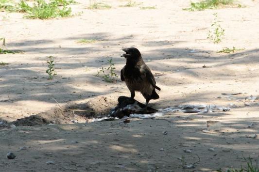 Идет охота на ворон