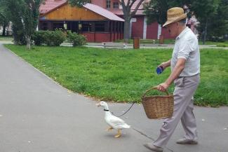 Во дает!.. Житель Казани гуляет в парке Урицкого с утко-гусями на поводке