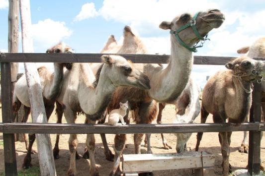 В деревне Травкино верблюды ни на кого еще не плюнули