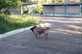 «Становятся настоящей угрозой для населения»: в Татарстане «неприкасаемые» бродячие собаки продолжают нападать на детей
