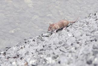 Казанский парк Урицкого покинули утки и оккупировали крысы
