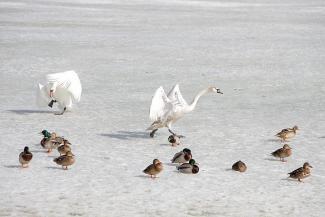 Все не как у людей: лебеди-родители на Кабане гонят детей во взрослую жизнь