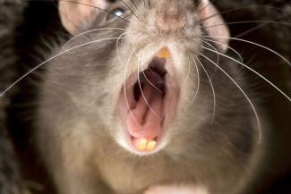 Страшно, аж жуть: казанский Арбат атакуют крысы