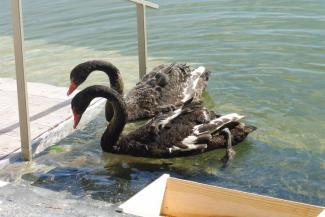 Строители элитных апартаментов на Черном озере «откупились» черными лебедями