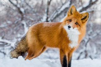 В Горкинско-Ометьевском лесу лисы гуляют вместе с казанцами