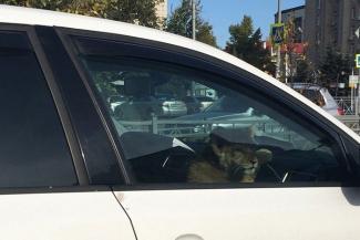 По улицам Казани возили львенка в белом авто