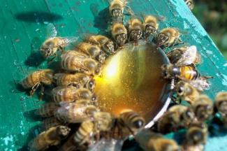 Пчелы взяток не берут: из-за холодного лета мед в Татарстане может стать «золотым»