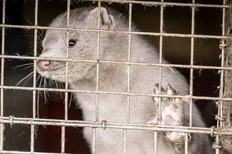 Татарстану не грозит массовое убийство норок из-за ковида, потому что их прикончили раньше