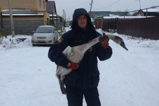 В Казани после операции по спасению лебедей один шипун погиб, а двоим ампутировали крылья
