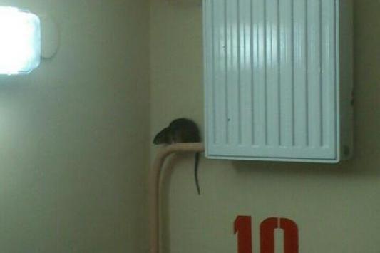 Крысы в Казани потеряли страх