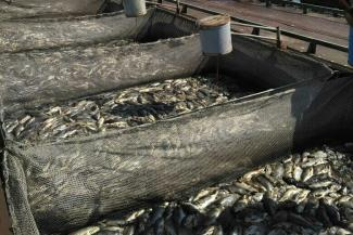 Платить за «уху», сваренную из 170 тонн рыбы, в Татарстане не захотели