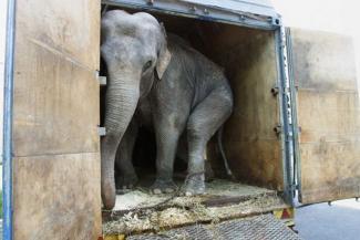 «Представьте, как этих огромных слонов везут в фургоне в другой город»: казанцы - о звучащих из-за границы призывах запретить в России цирки с животными