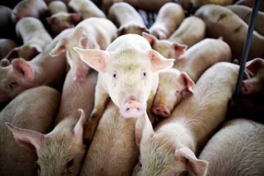 Жители татарских сел просят Минниханова спасти их от свиней