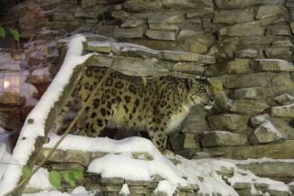 В Казанском зоопарке умер подаренный Шаймиевым снежный барс Тамерлан