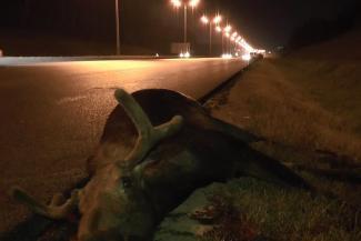 На дорогах Татарстана за сутки насмерть сбили трех лосей