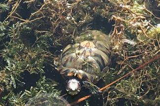 «Не покупайте детям черепах!»: казанец спас красноухую тортилу, выброшенную в озеро Кабан