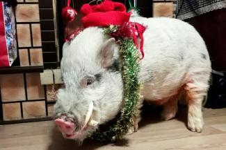 Танцуй, свин, танцуй!.. Казанский мини-пиг Вук ждет свой Новый год